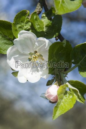 apfelblüte, v - 613018
