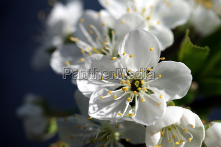 cherry, blossom - 613350