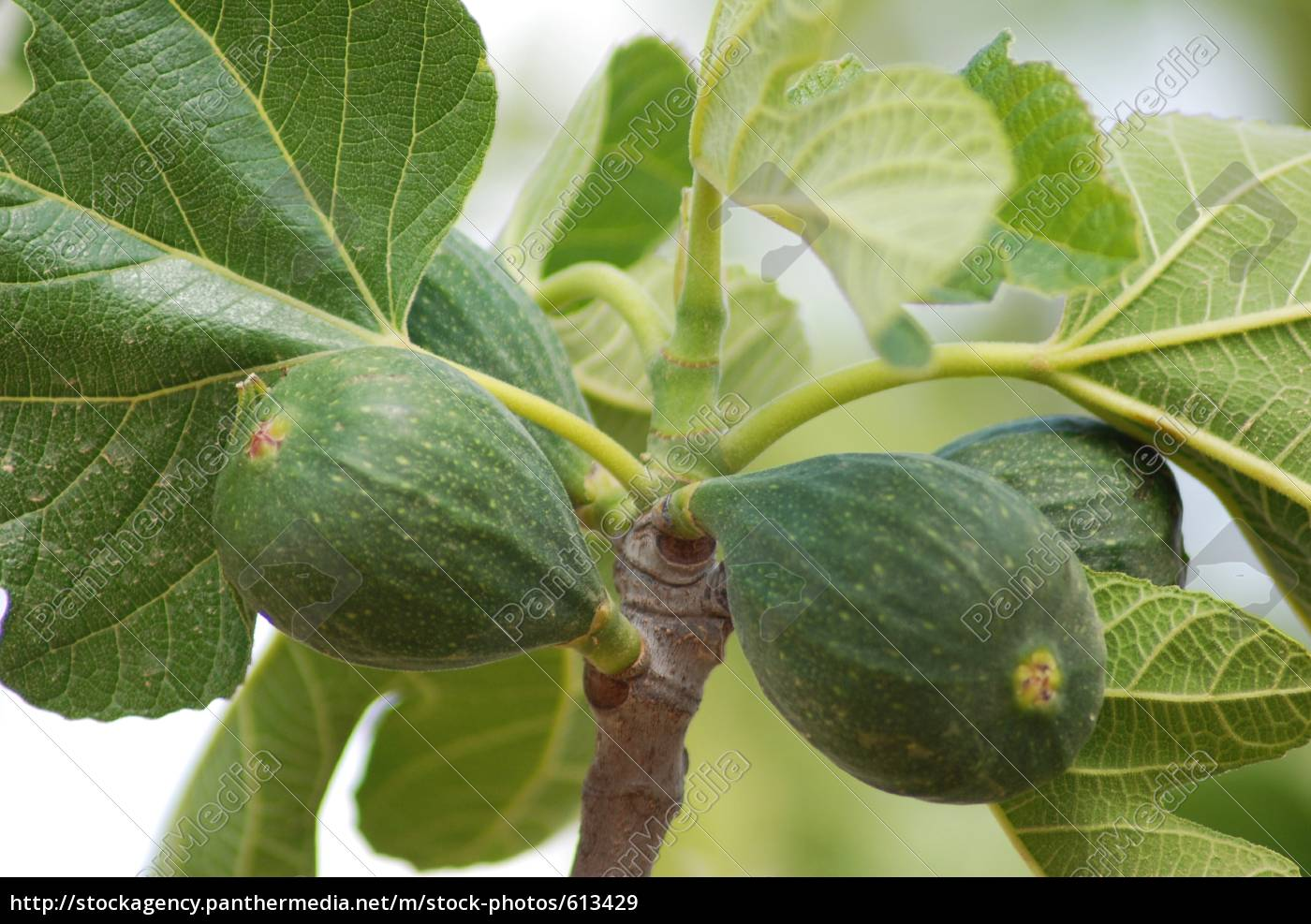 figs - 613429