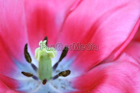 tulip - 613259