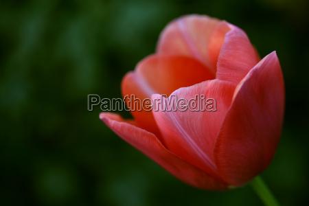 tulip - 613321