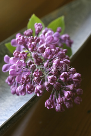 lilac, in, a, bowl - 614175
