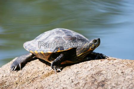 turtle, while, sunbathing - 614865