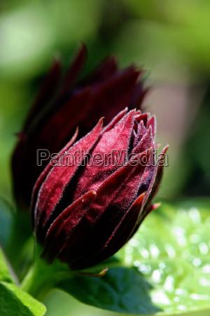 calycanthus floridus spice bush