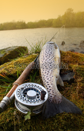 brown, trout - 621496