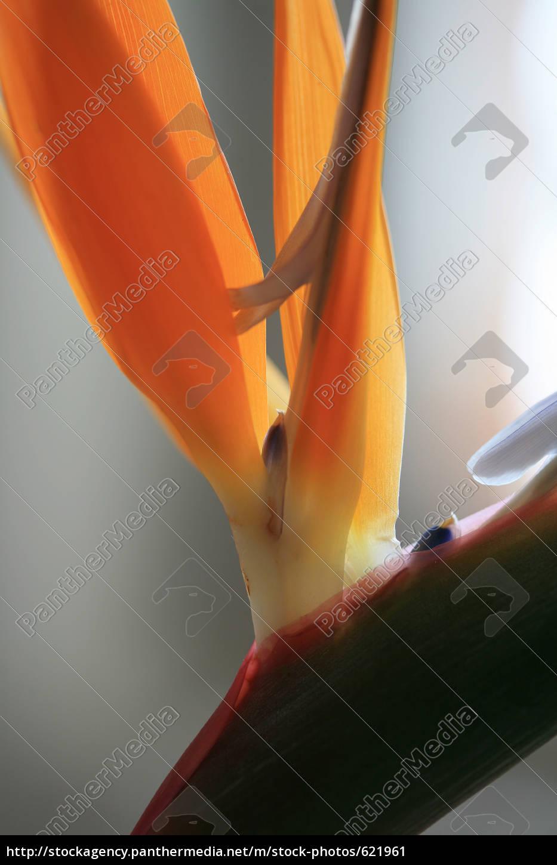 stelizie, orange, bird, of, paradise, flower - 621961