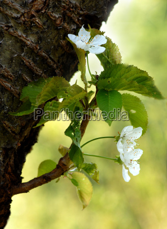 time, of, cherry, blossom - 622766