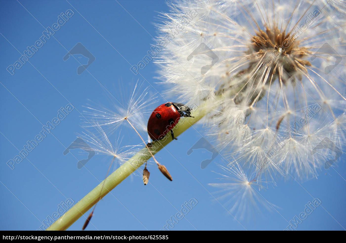 ladybird, and, dandelion, i - 625585