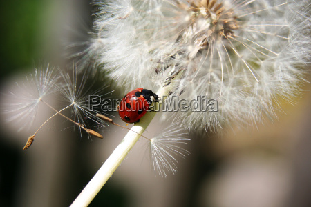 ladybird, and, dandelion, iii - 625601