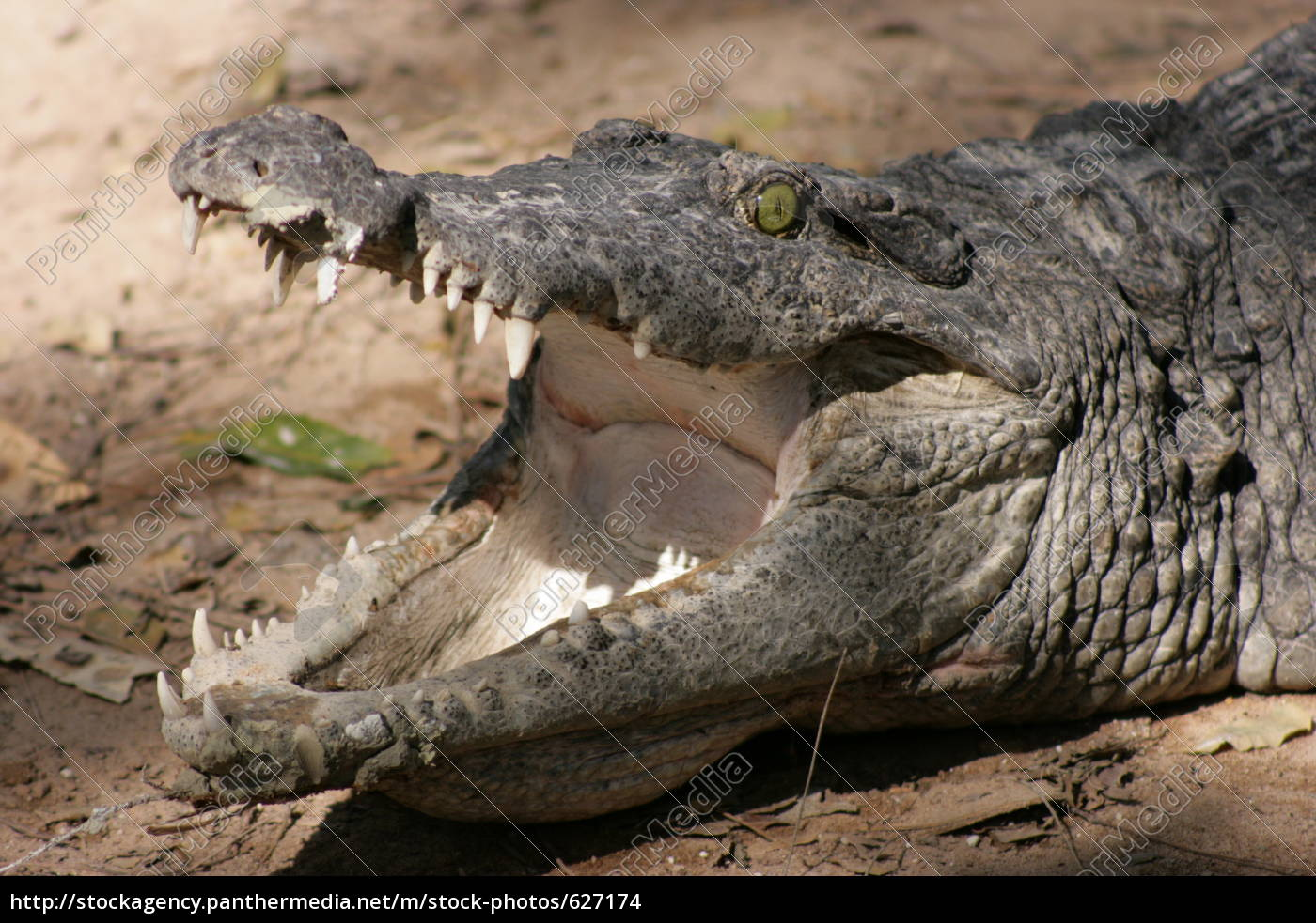 alligator - 627174