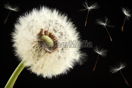 dandelion - 627672