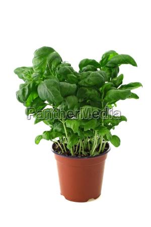 basil, in, pot - 628433