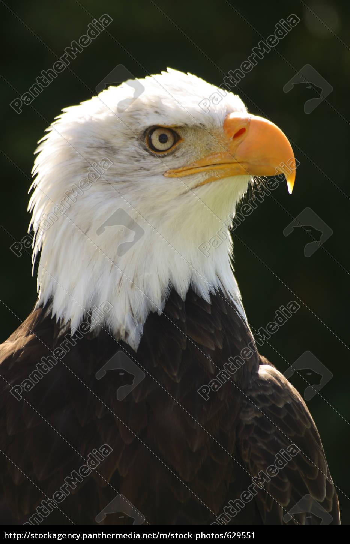 bald, eagle - 629551