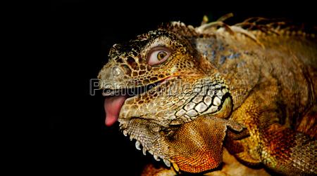 the, lizard, in, mir - 630127