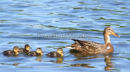 mother, duck - 633400
