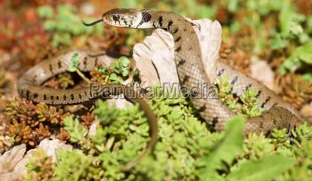 grass, snake - 635029
