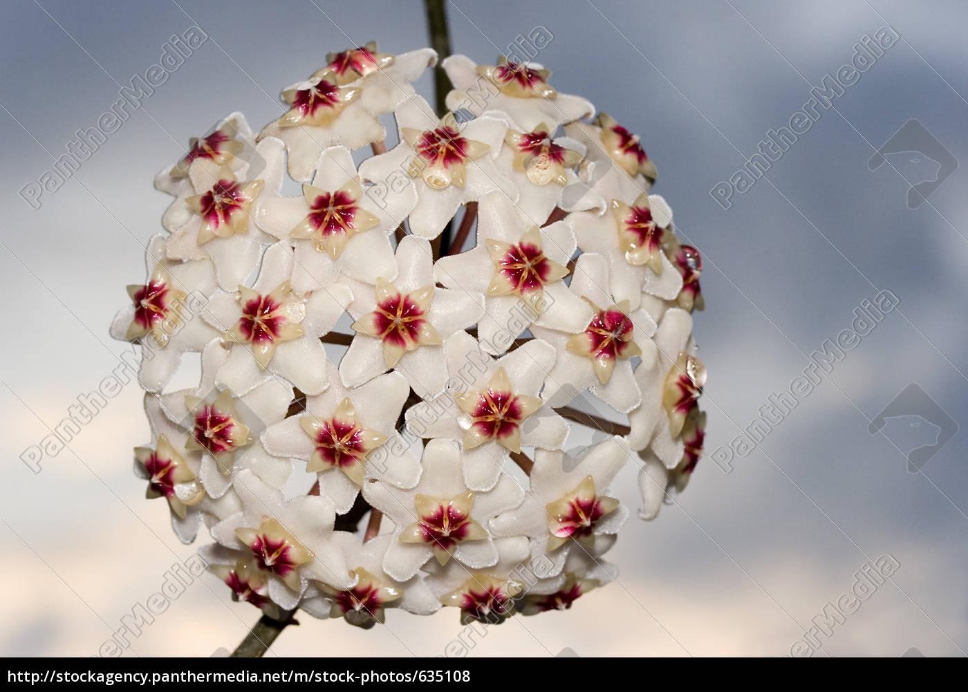 wax, flower, ball - 635108