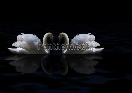 swans - 638043