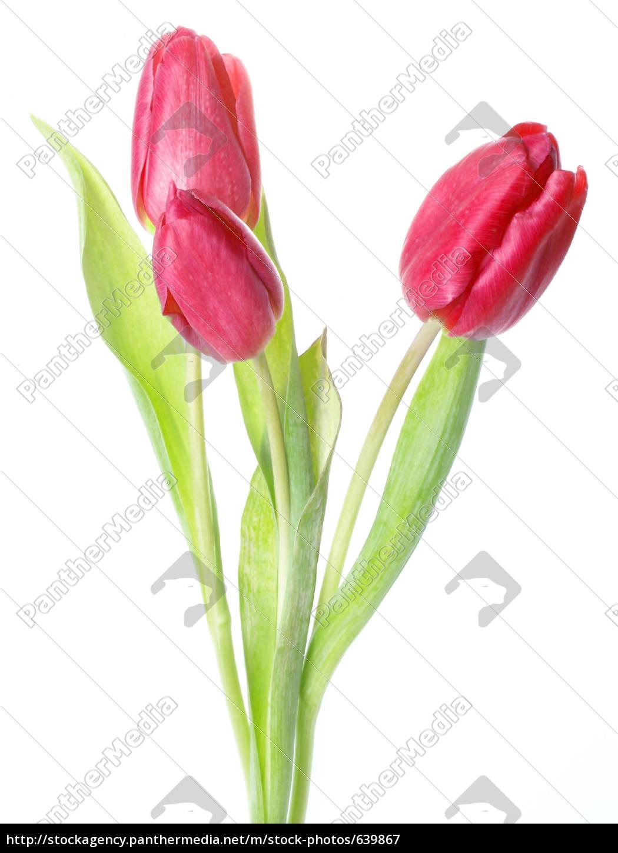 three, fresh, red, tulips - 639867