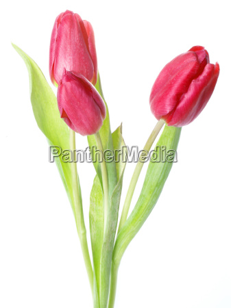 three, fresh, red, tulips - 639867