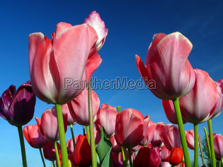 tulips - 640834