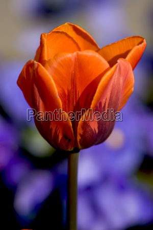 just one tulip