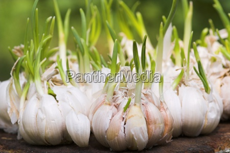 garlic - 642399