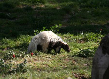 skunk - 644779