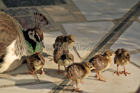 peacock hen with 6 chicks
