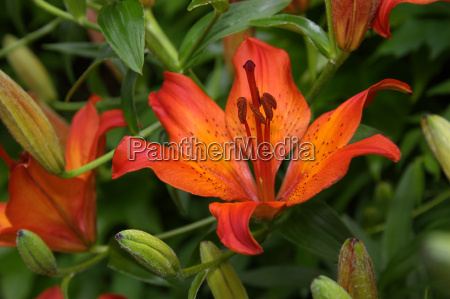 fire, lily - 646130