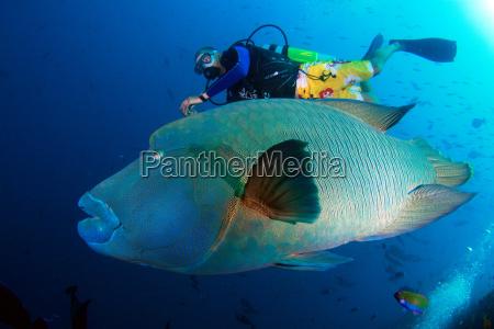 napoleon, with, divers - 646924