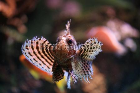 scorpionsfish