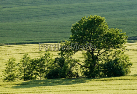 tree trees coleseed agriculture farming field
