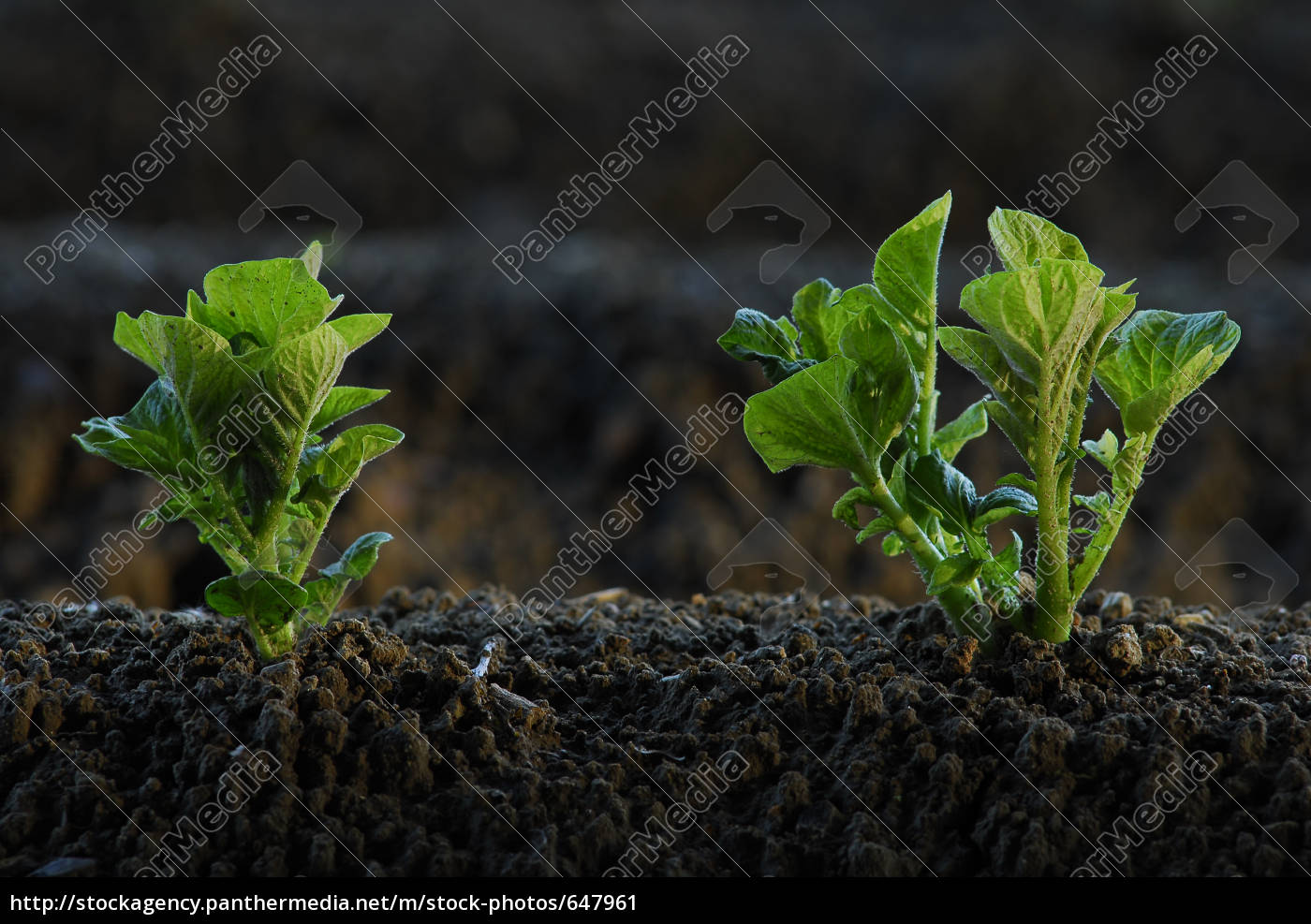 potato, field, 2 - 647961