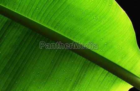 banana, leaf - 648196