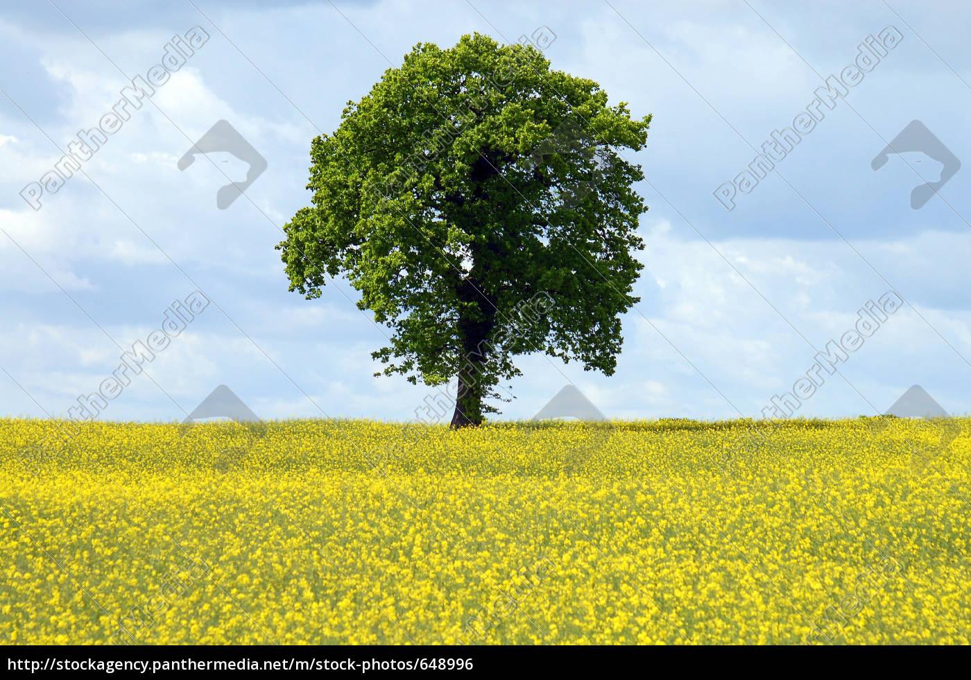 tree, in, oilseed, rape - 648996