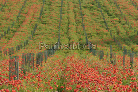 food aliment hill green field poppy