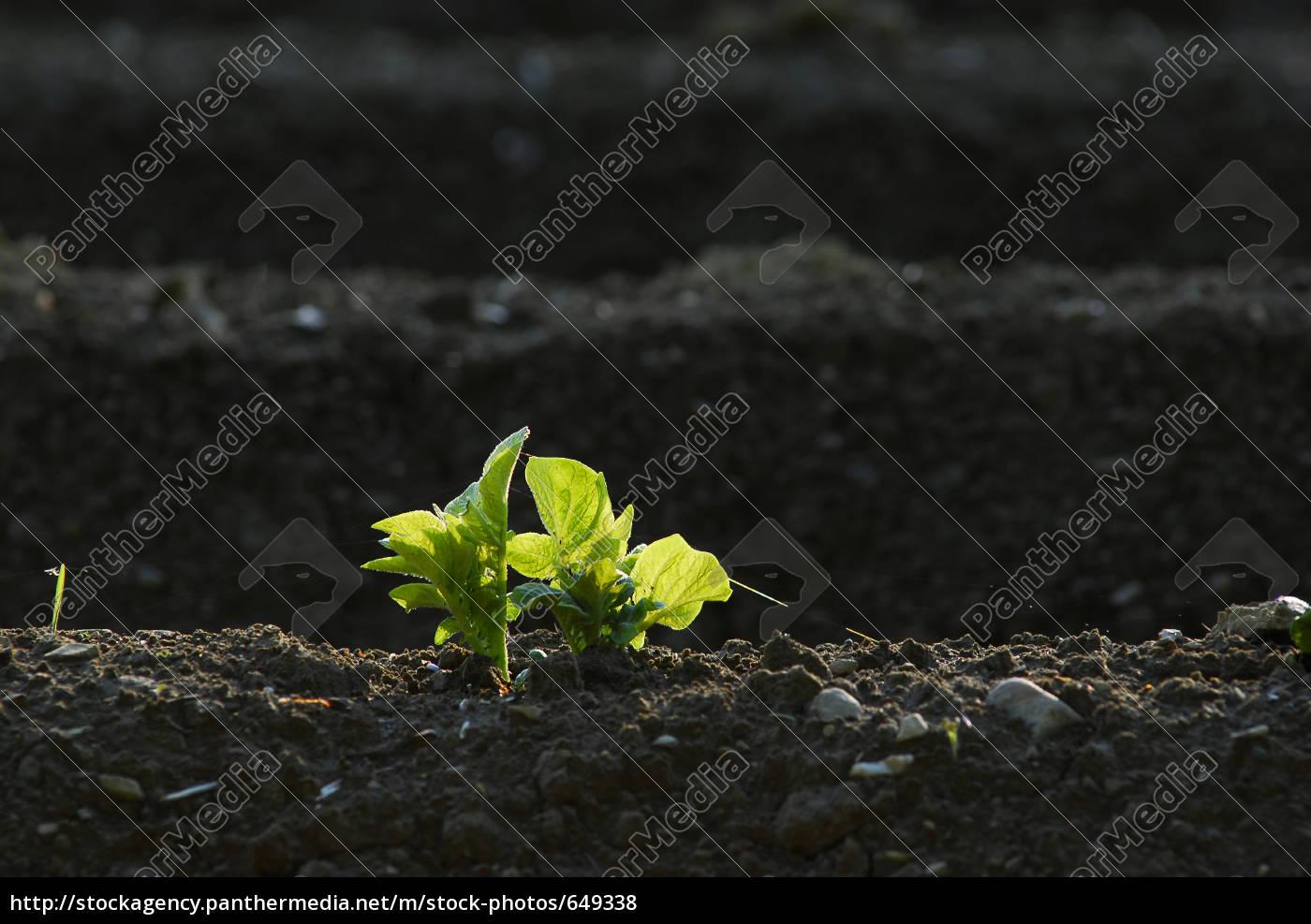 potato, field, 3 - 649338
