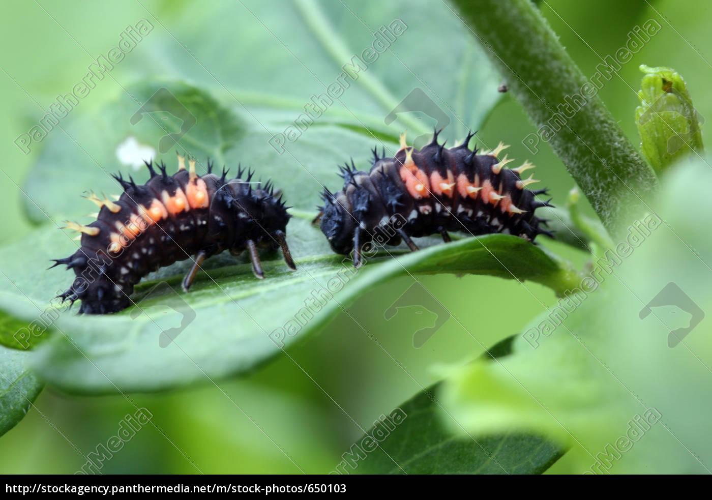 ladybird, larvae - 650103