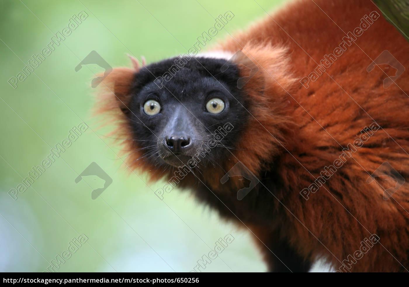 red, ruffed, lemur - 650256