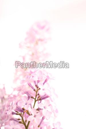 lilac, -, lilac, flowers - 651166