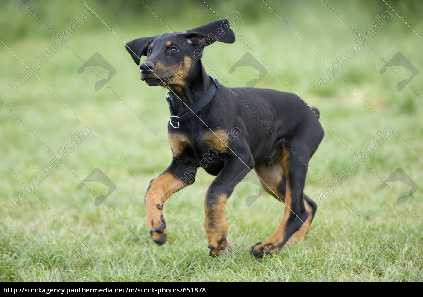 young, doberman, puppy, in, puppy, play - 651878
