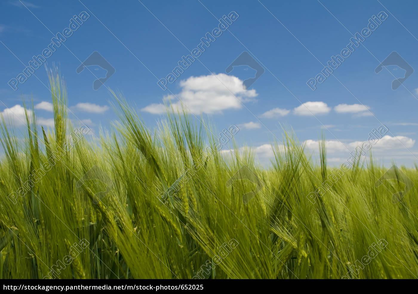 barley - 652025