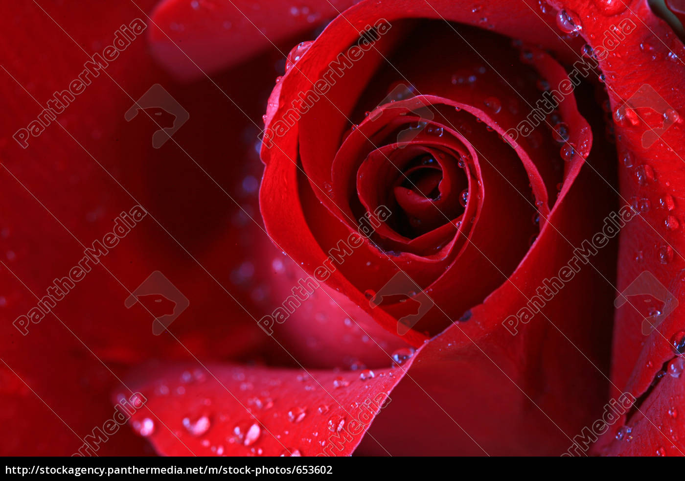 rose, red - 653602