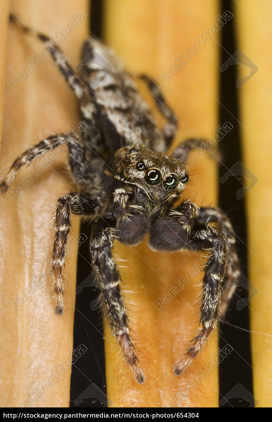jumping, spider - 654304