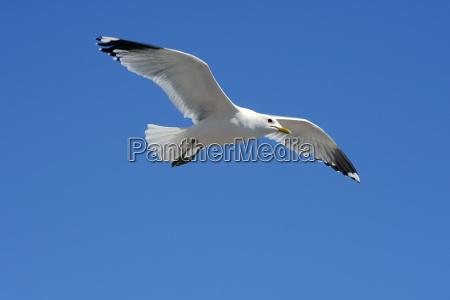gull - 655525