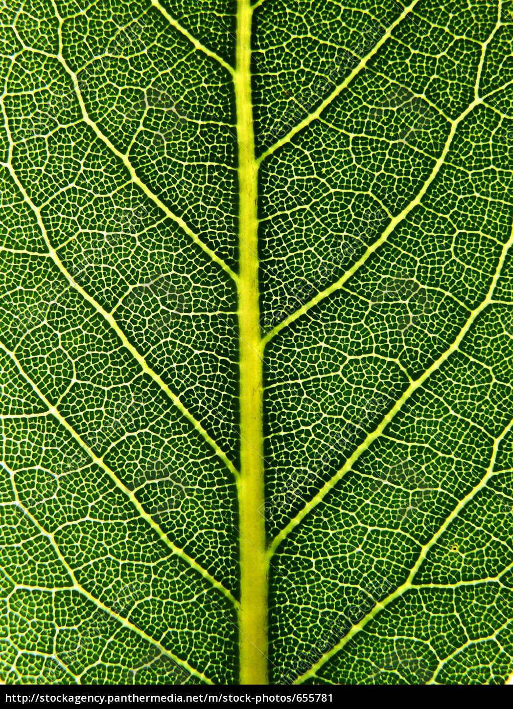 laurel, leaf - 655781
