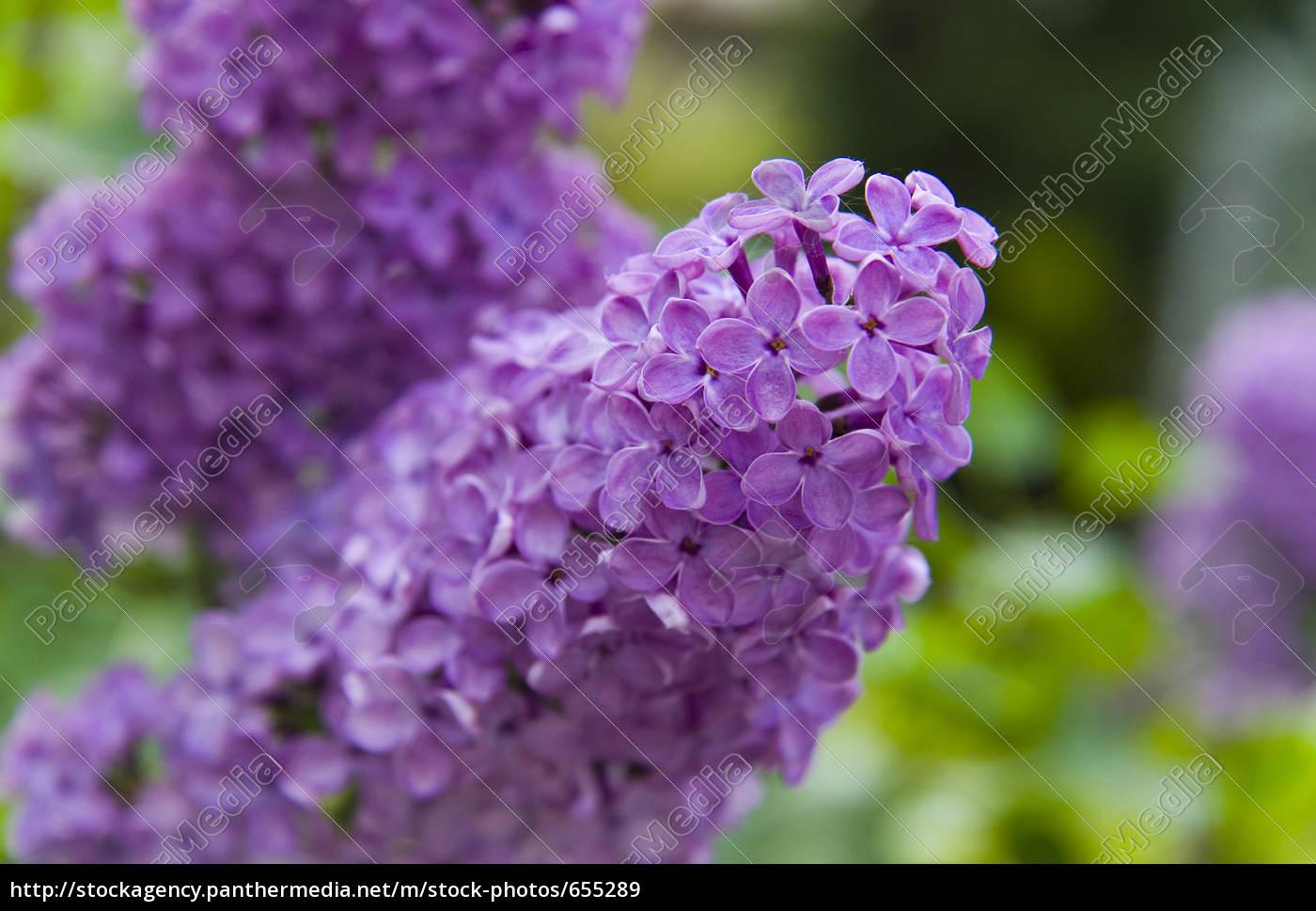 lilac - 655289