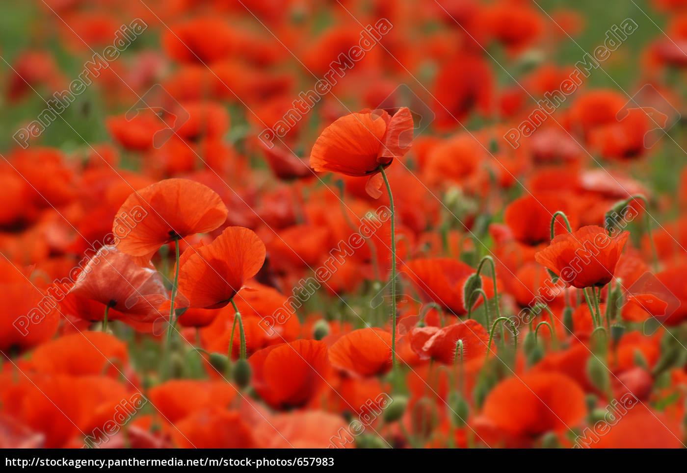 in, poppy, field - 657983