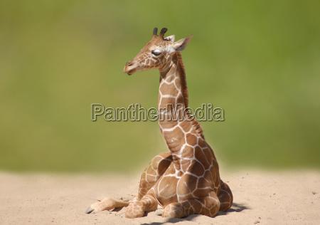 baby, giraffe - 659763